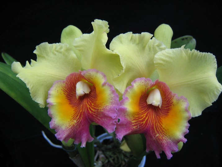 The quintessential orchids cattleyas and their relatives for Orchidea cattleya